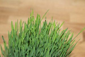Superfoods und Clean Eating - Weizengras